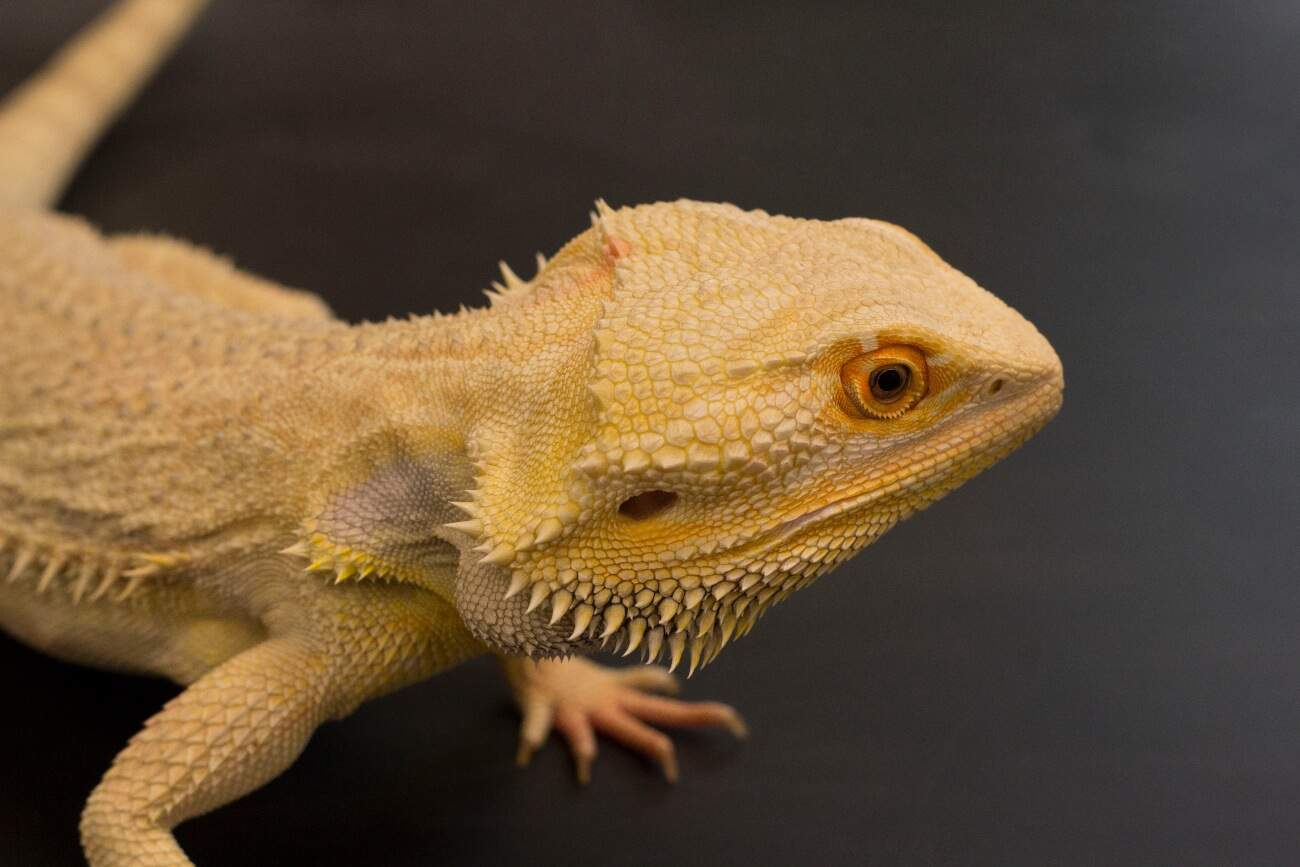 A bearded dragon away from the terrarium cage