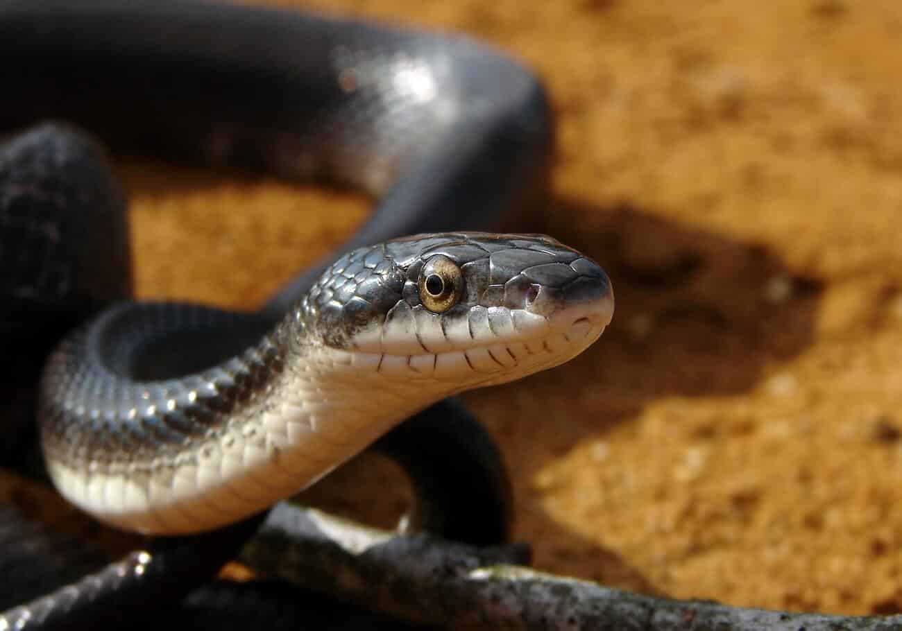 A black rat snake up close