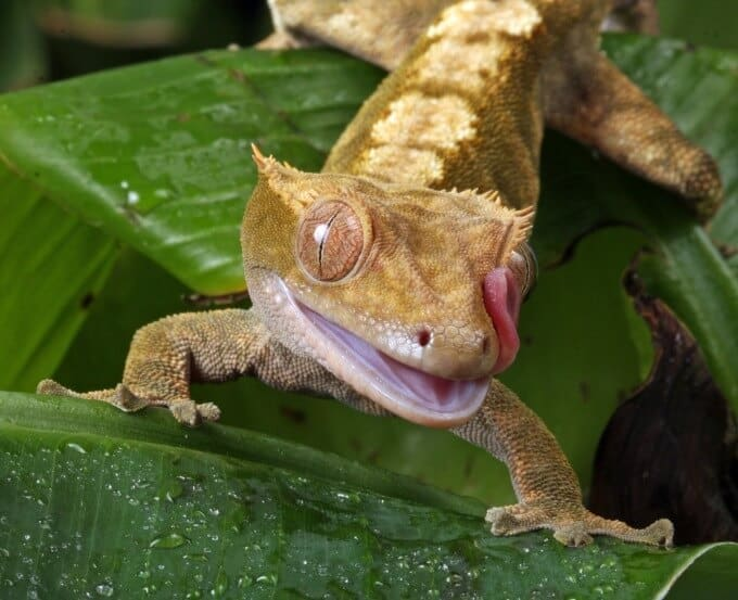 A Crested Gecko looking for food while standing on leaves
