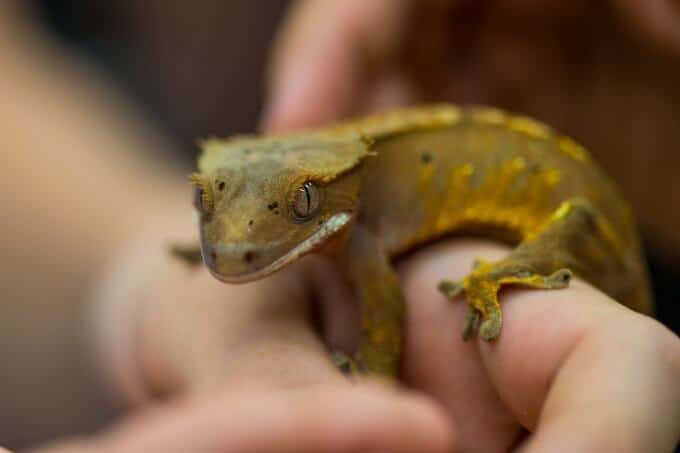 A Crested Gecko being handled outside its habitat