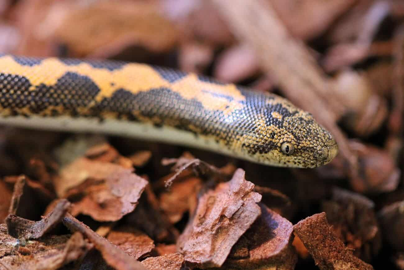 A Kenyan Sand Boa moving around looking for food