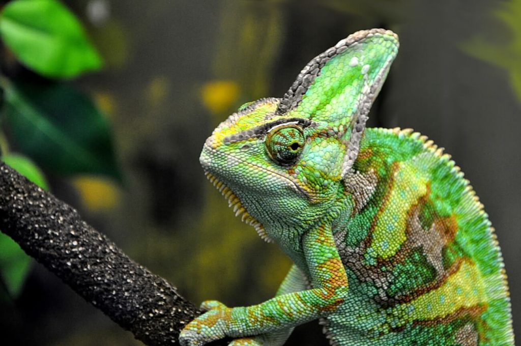 A Veiled Chameleon on a branch