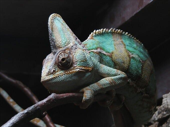 One Veiled Chameleon in a large habitat