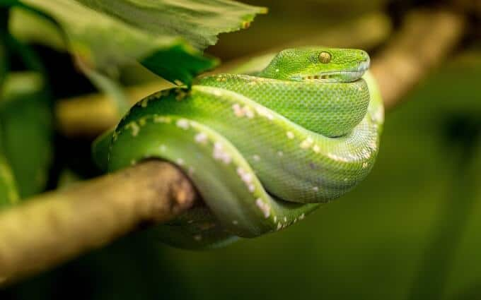 One Amazon Tree Boa resting on a branch in an enclosure