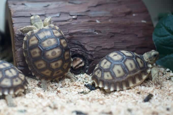 A group of baby Sulcata Tortoises in their enclosure