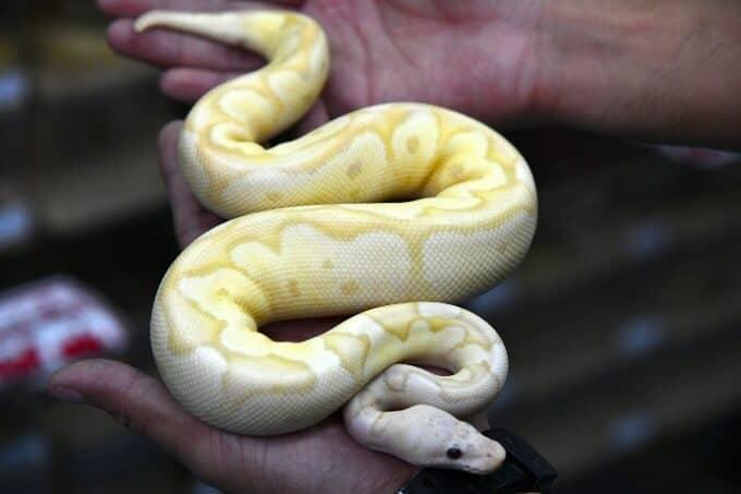 A pet Ball Python being handled