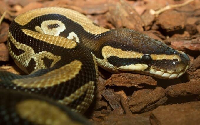 A Ball Python resting inside an enclosure