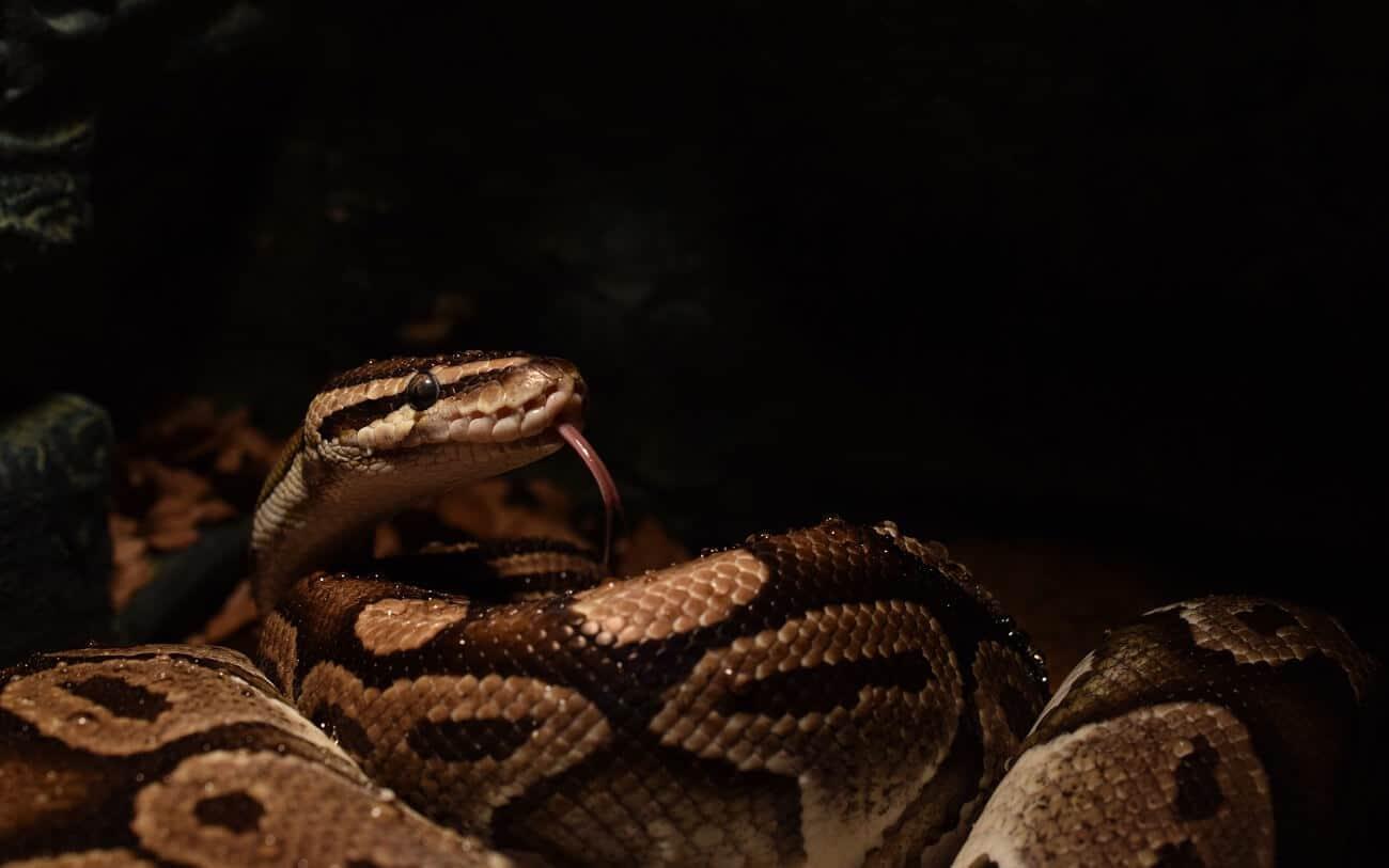 A Ball Python inside a dark habitat