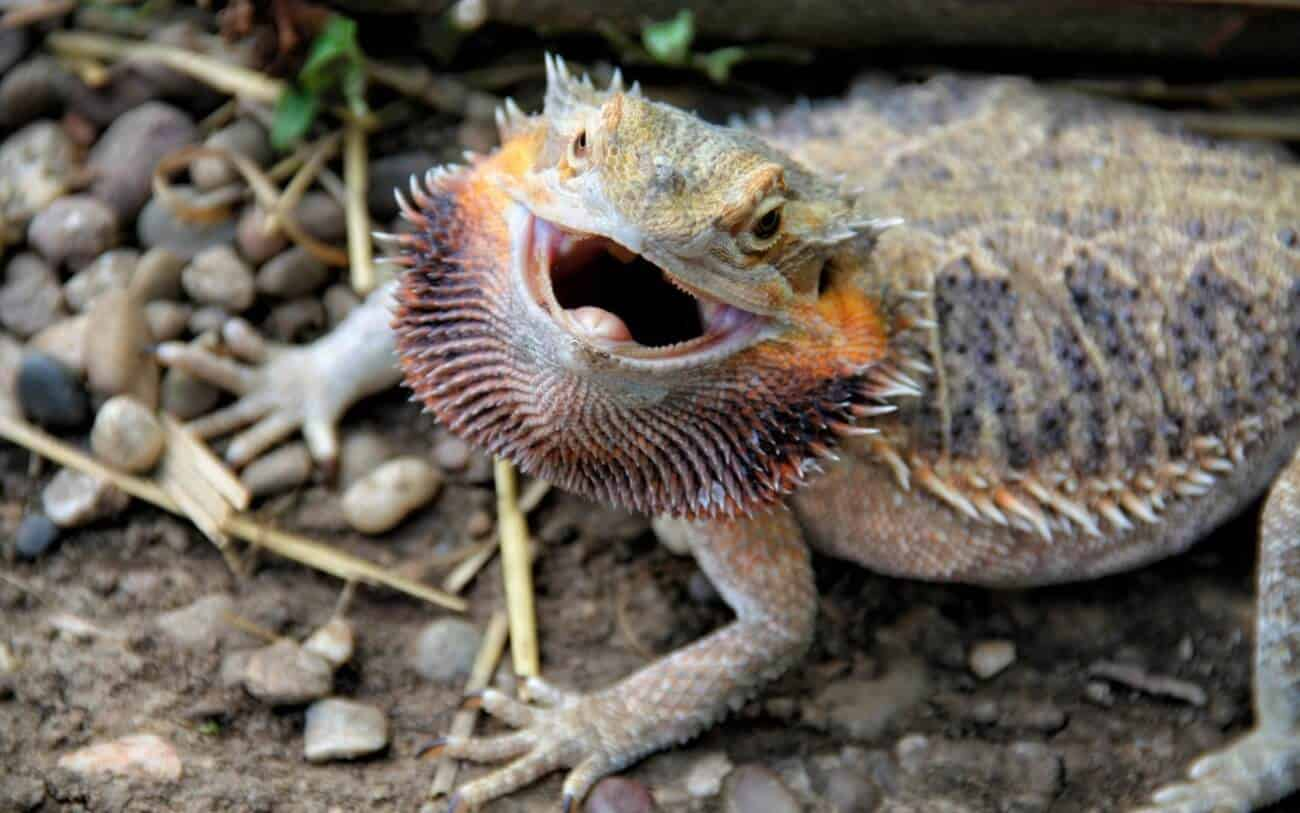 An angry bearded dragon prepared to bite