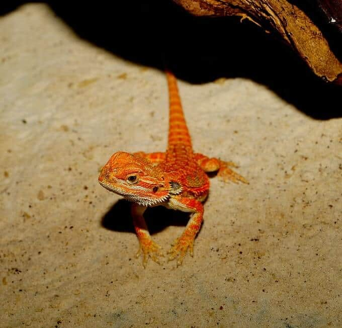 A small bearded dragon leaving the hide