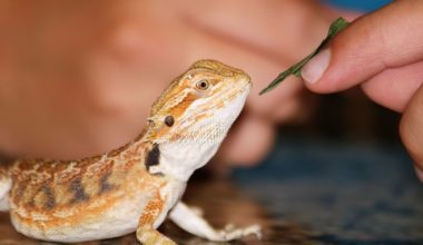 A bearded dragon not eating the food being offered to it