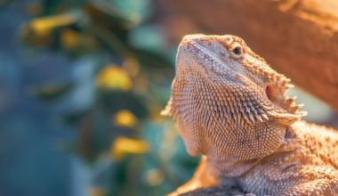 A bearded dragon with a healthy poop schedule