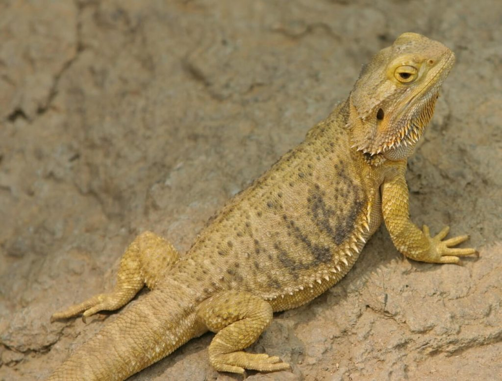 A bearded dragon that has mild tail rot