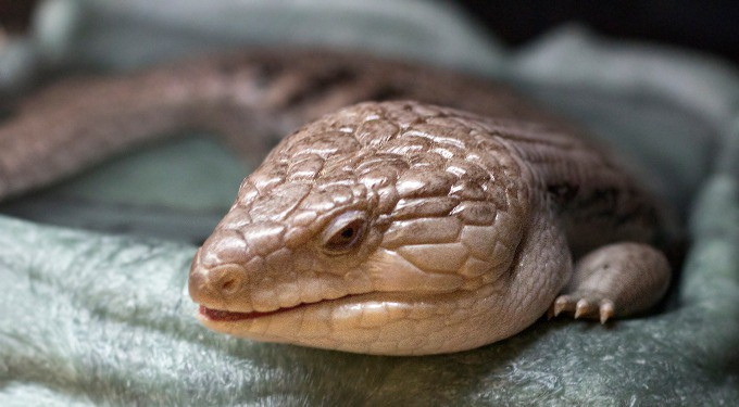 One Blue Tongue Skink resting on a bed inside an enclosure