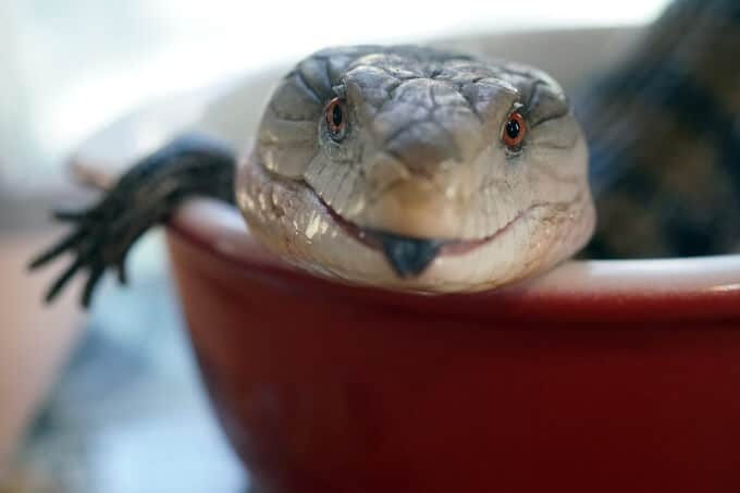 A happy Blue Tongued Skink showing its tongue while soaking in a water bowl