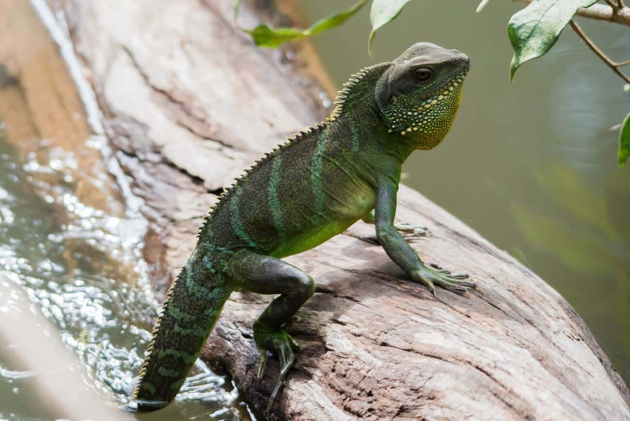 A Chinese Water Dragon cooling its tail