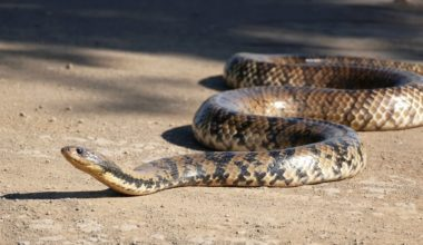 One False Water Cobra slithering on the ground