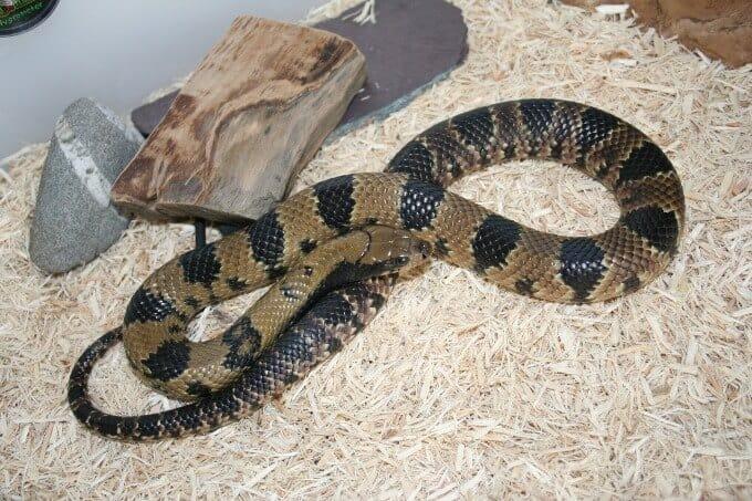 A False Water Cobra in its enclosure