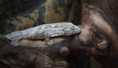 A Leachianus Gecko resting on a branch in it's enclosure