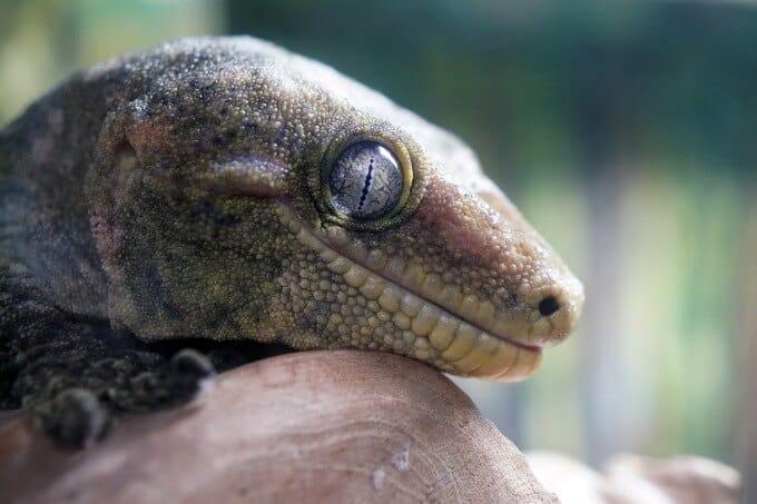 Leachianus Gecko close to the camera lens
