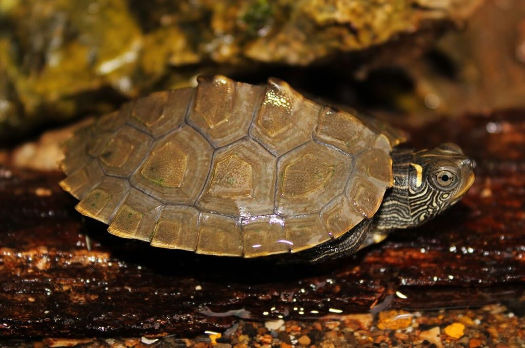 Mississippi Map Turtle resting on a small log
