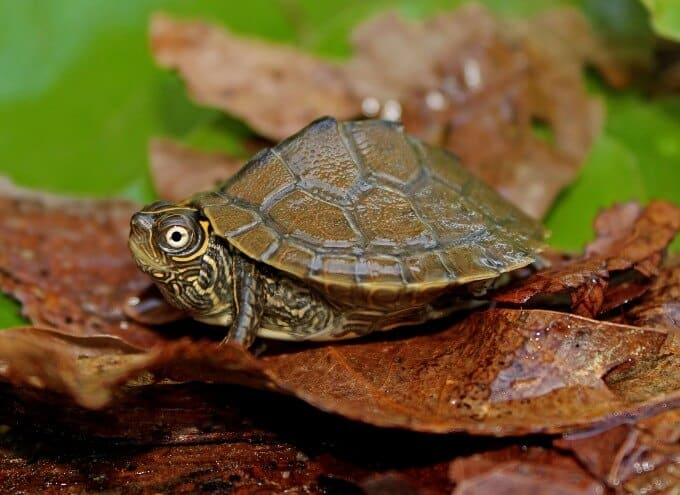 One Mississippi Map Turtle relaxing on top of some leaves