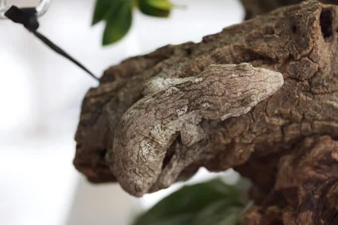 A New Caledonian Giant Gecko blending in with a tree brance
