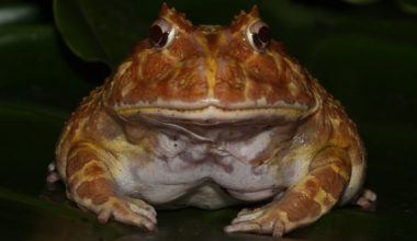 A Pacman frog facing the camera