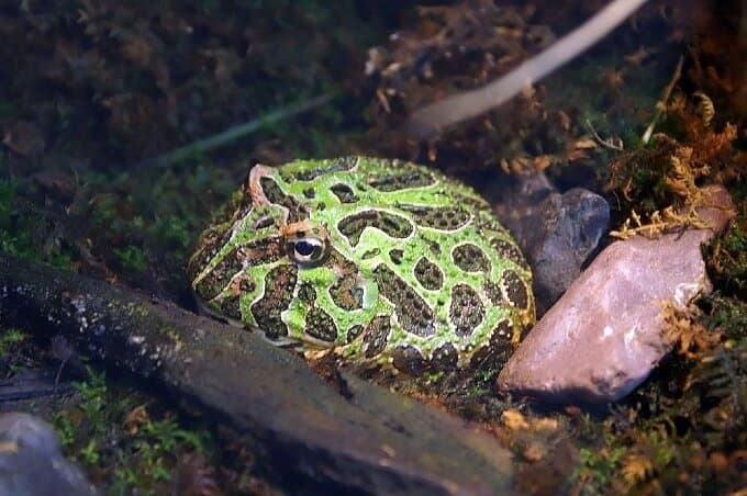 A Pacman frog beginning to bury itself in the tank substrate