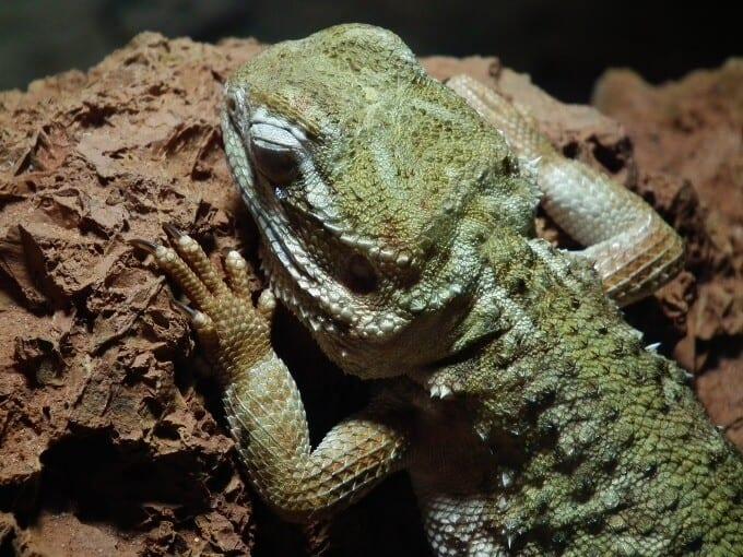 Pogona henrylawsoni skin up close