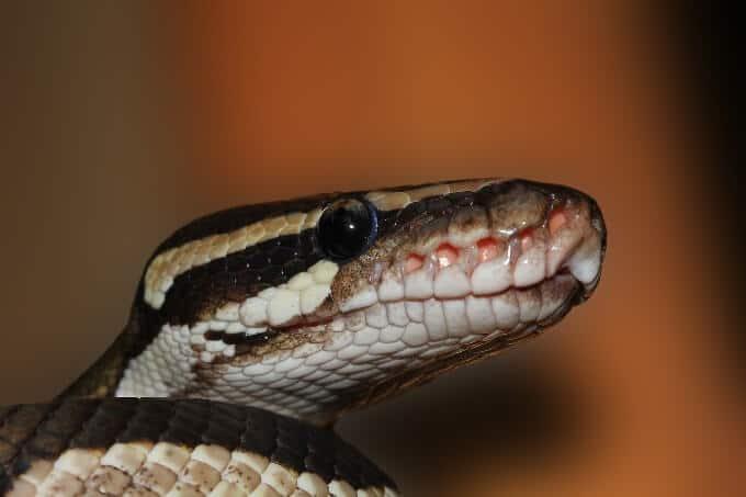 Python regius waiting for feeding time