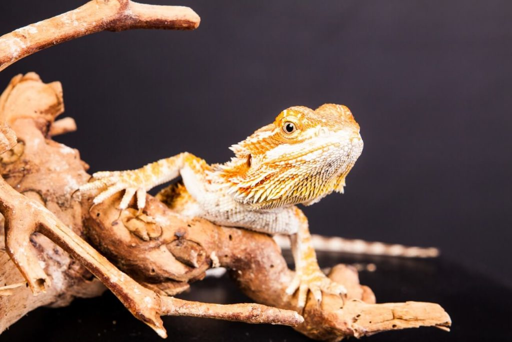 A Rankin's Dragon standing on a branch