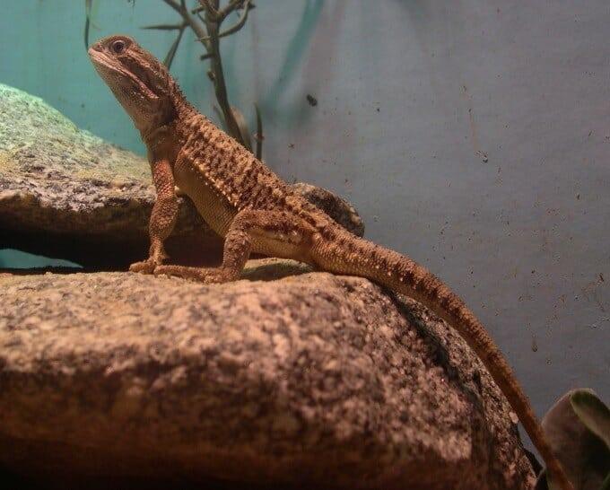 A Rankin's Dragon basking in an enclosure