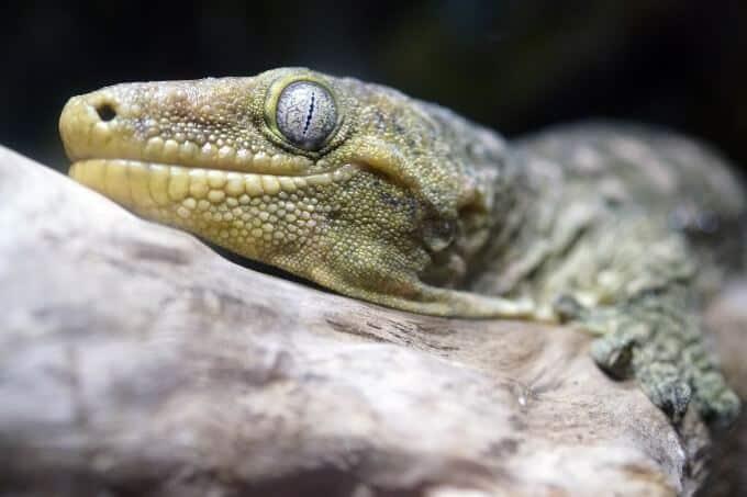 Rhacodactylus leachianus enjoying a well-made enclosure