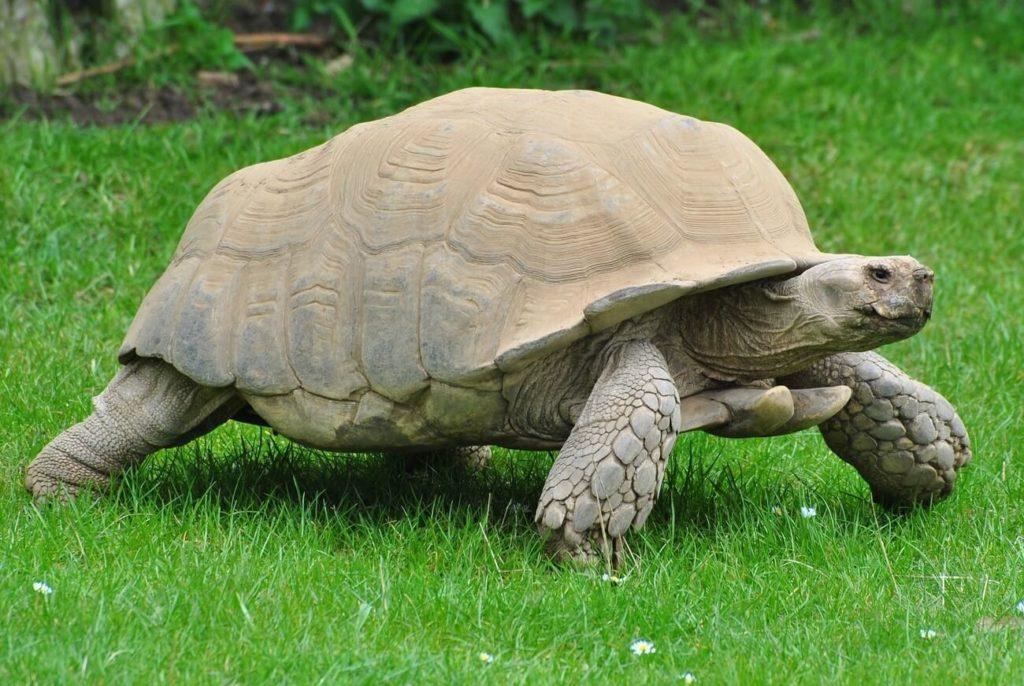 A full-grown Sulcata Tortoise walking in an enclosure