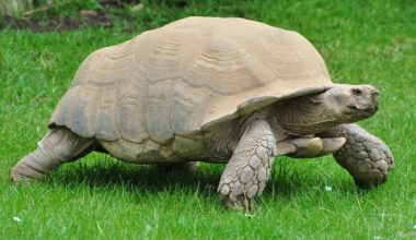 A full-grown Sulcata Tortoise walking in an enclosure