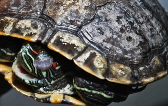 A turtle with shell rot