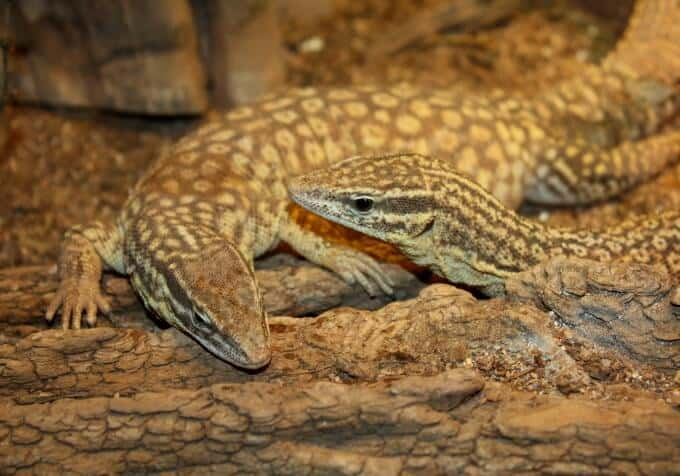 Two pet Varanus acanthurus resting next to each other