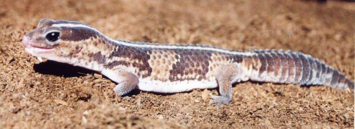 African Fat-Tailed Gecko basking on the substrate