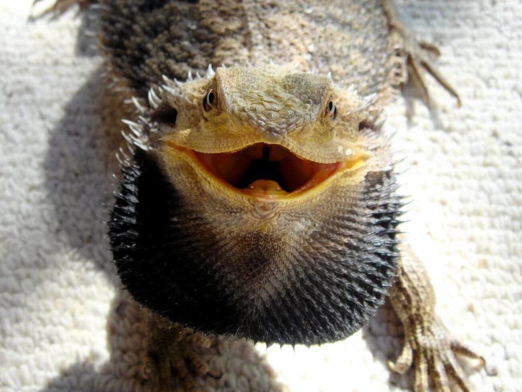 An angry bearded dragon with a black beard