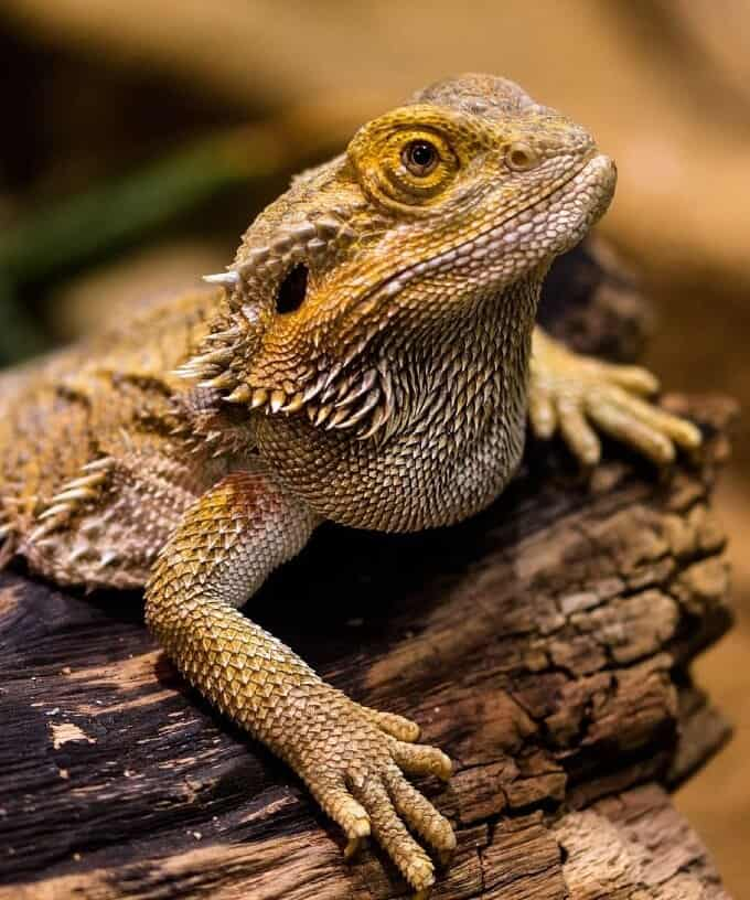 Bearded dragon basking and soothing its skin