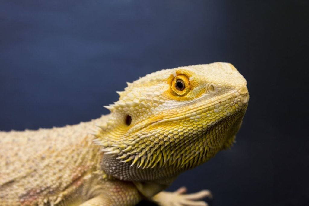 An full-size adult bearded dragon