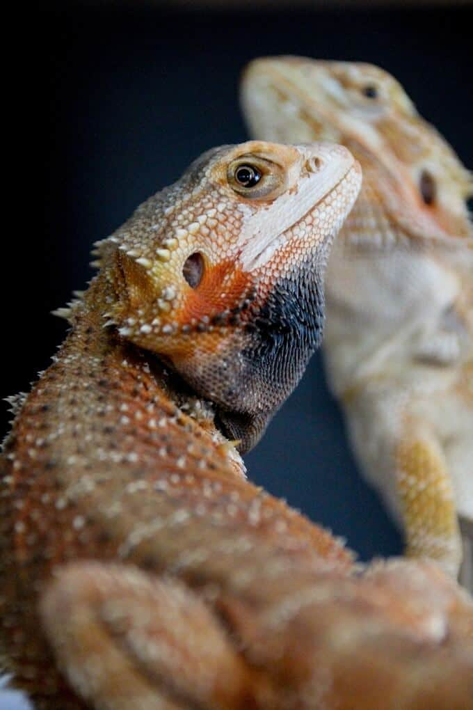 A bearded dragon in the process of turning