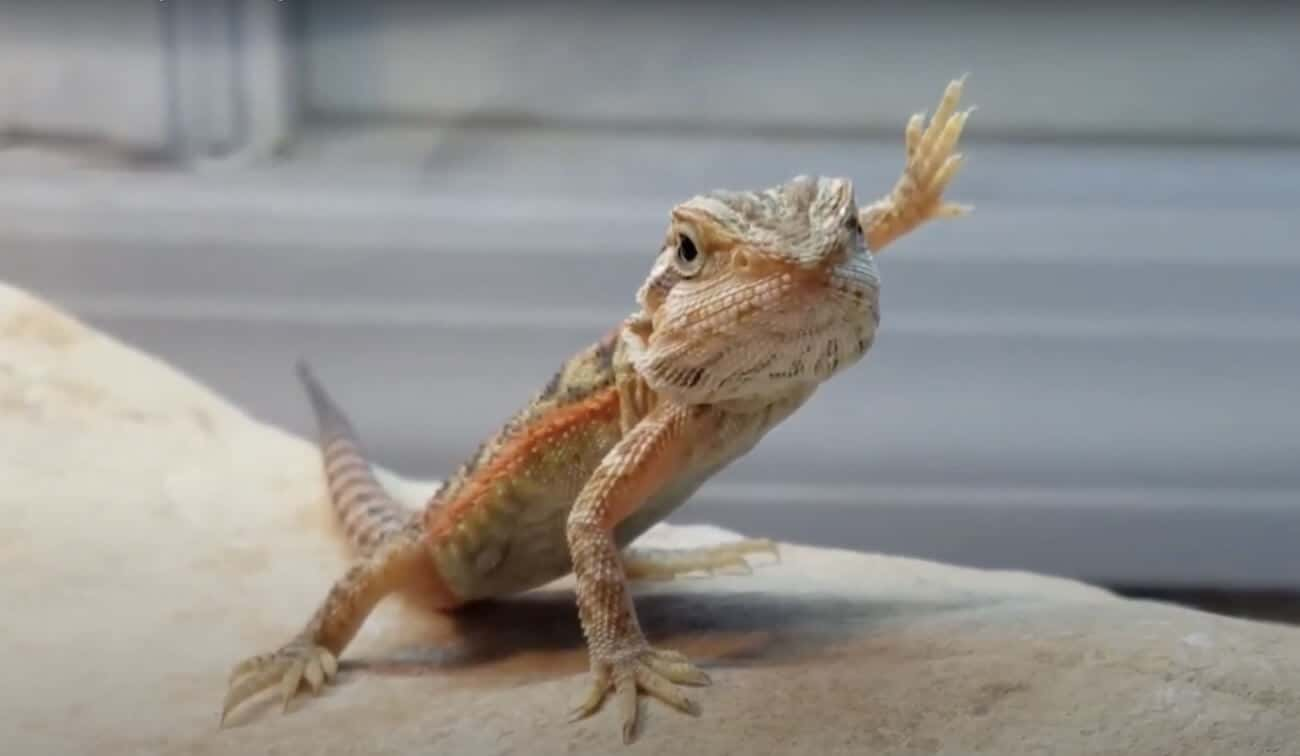 A bearded dragon waving