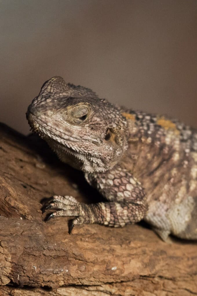 A bearded dragon with some slightly shedding skin