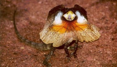 Frilled Dragon showing its frill