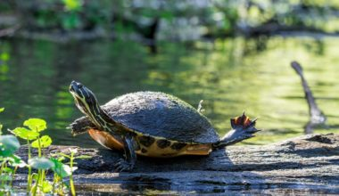 A peninsula cooter on a log