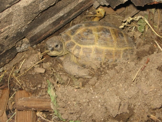 One Russian Tortoise digging in the dirt