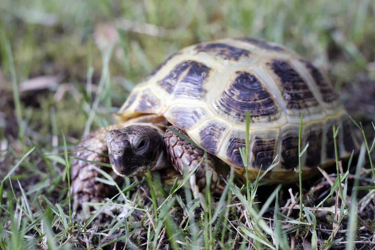 A Russian Tortoise walking through the grass