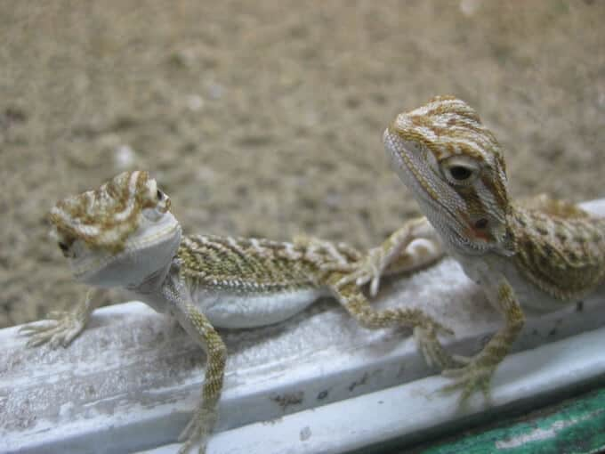 Two small baby bearded dragons